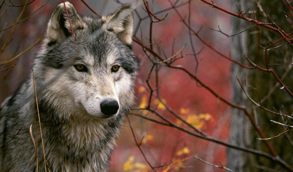 I lupi da conoscere