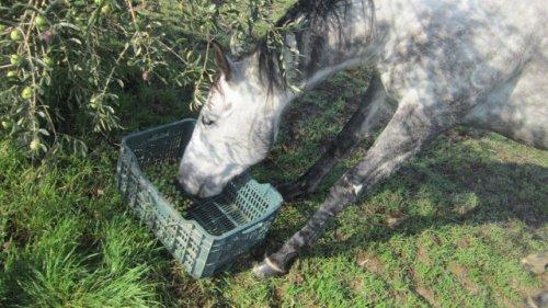 Sugli alberi o in cassetta, per fortuna le olvie ai cavalli non piacciono