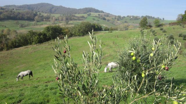 Il pascolo dell'oliveto, esposto a Sud Est, con i cavalli a godersi l'erba autunnale